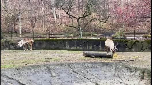 Reindeer in Habitat