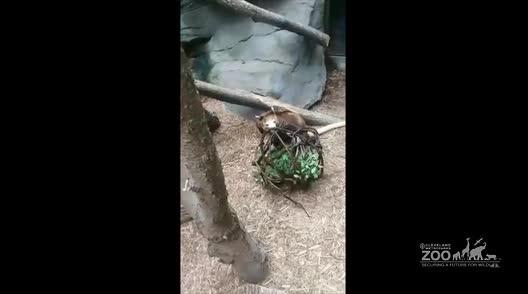 Matschies Tree Kangaroo Enrichment