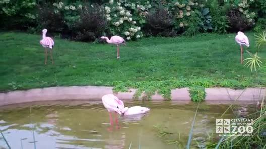 Flamingos Bathing