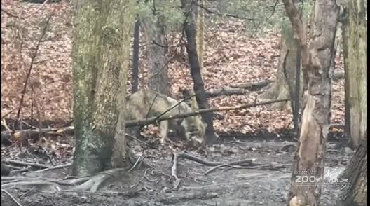 Mexican Wolf Behavior