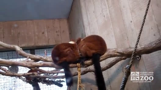 Red Ruffed Lemurs Grooming