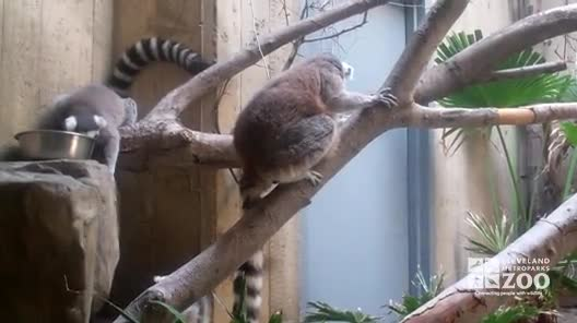 Ring-Tailed Lemurs in Exhibit