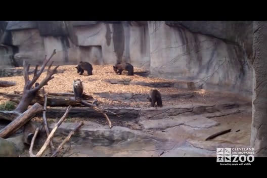 Grizzly Bear Cubs Play in Exhibit