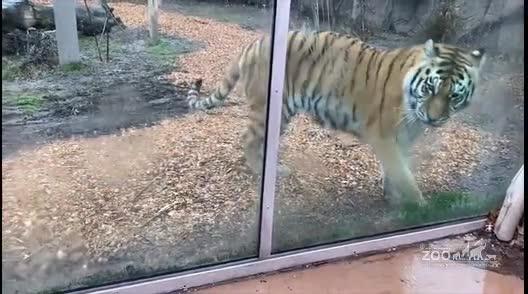 Tiger Movement