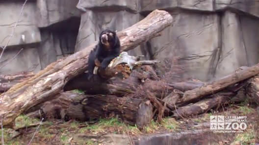 Andean (Spectacled) Bear on Branch