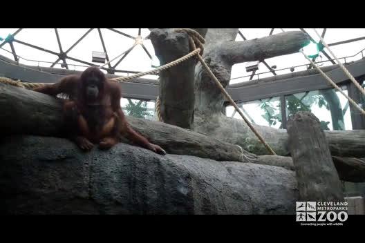 Orangutans - No Sound
