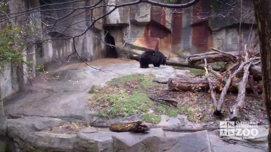 Black Bear in the Rain