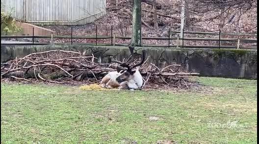 Reindeer in Deer Yard