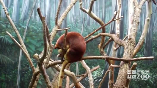 Goodfellow's Tree Kangaroo in Exhibit