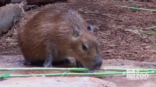 Young Capybara Eating