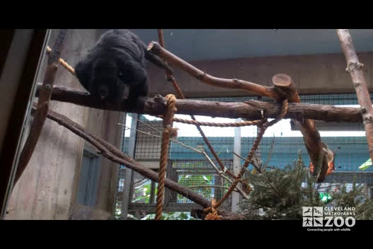 Black Howler Monkeys in Net and Moving around Exhibit