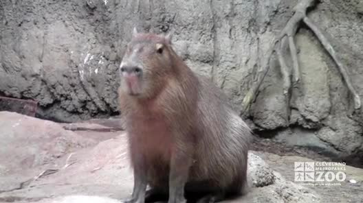 Capybara Facts