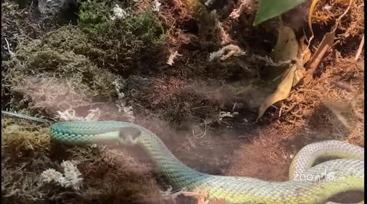 Baron's Green Racer Snake Behavior
