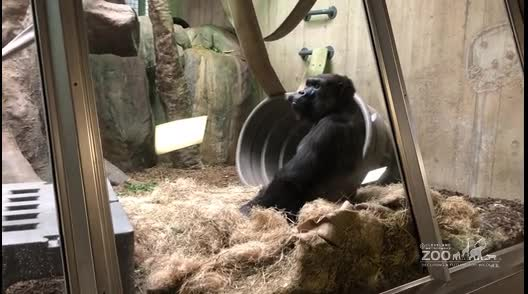 Gorilla Behavior