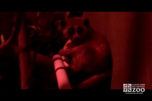 Pygmy Slow Loris Nocturnal Footage