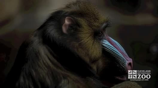 Mandrill Facts