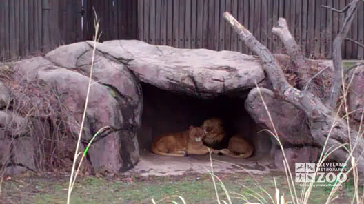 Lions in Exhibit