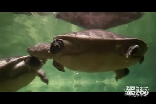 Batagur Turtles Swimming