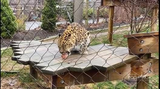 Amur Leopard Eating