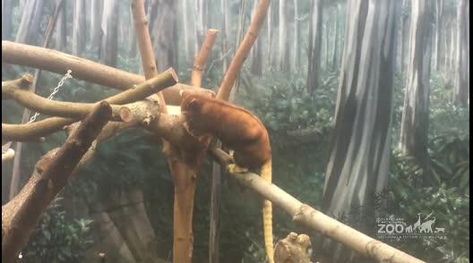 Matschie's Tree Kangaroo Pouch Cleaning