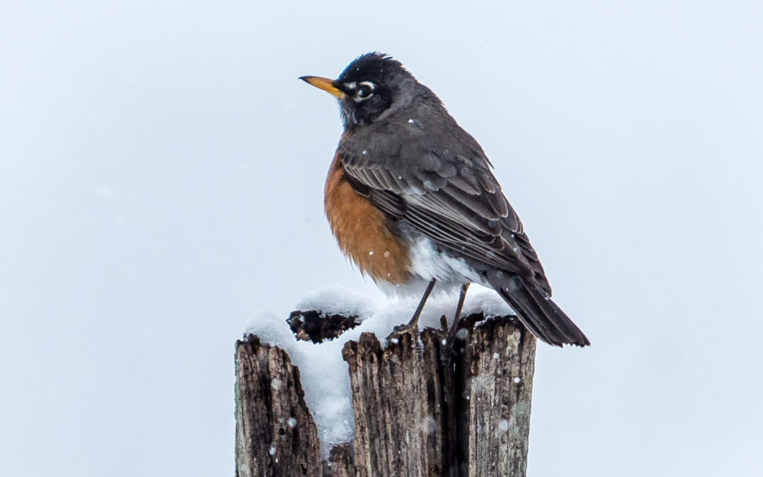 Snow Day Robin