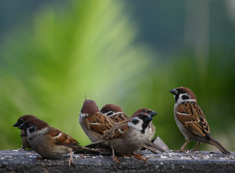 several brown sparrows against a green background