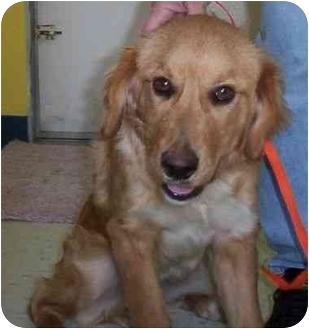 Golden Retriever Dog Breed Information  akcorg
