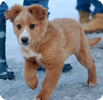 Denver Adopted Puppy Unionville Pa Golden Retriever