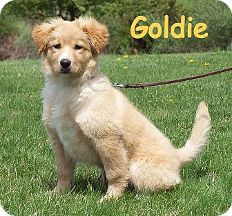 Goldie Adopted Puppy Ord Nj Australian Shepherd Nova Scotia Duck Tolling Retriever Mix
