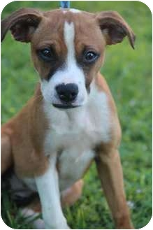 Boxer jack russell mix puppies
