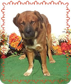 Georgia Bernese Mountain Dog Rescue Animals For Adoption