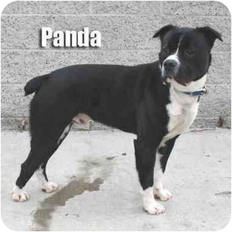 Panda Adopted Dog Burbank Ca English Bulldog Border
