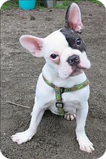 French bulldog cairn terrier mix