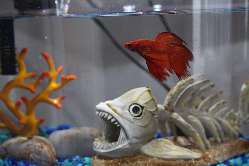 betta-blub-mini-bow-aquarium