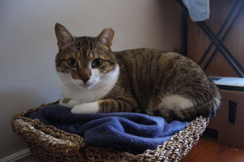 beau-sitting-in-basket-pets-overload-adorable.-kittenjpg
