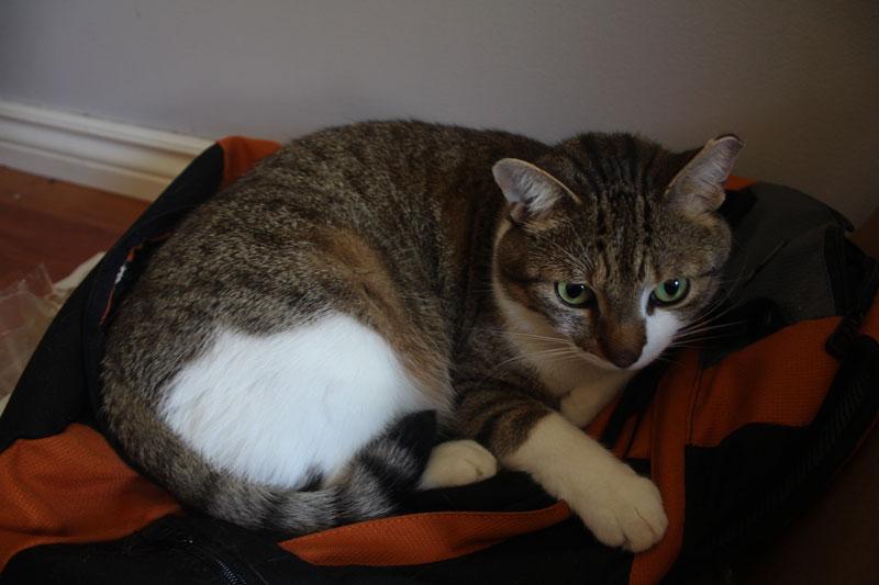 beau-backpack-cute-sleeping-adorable-kitten