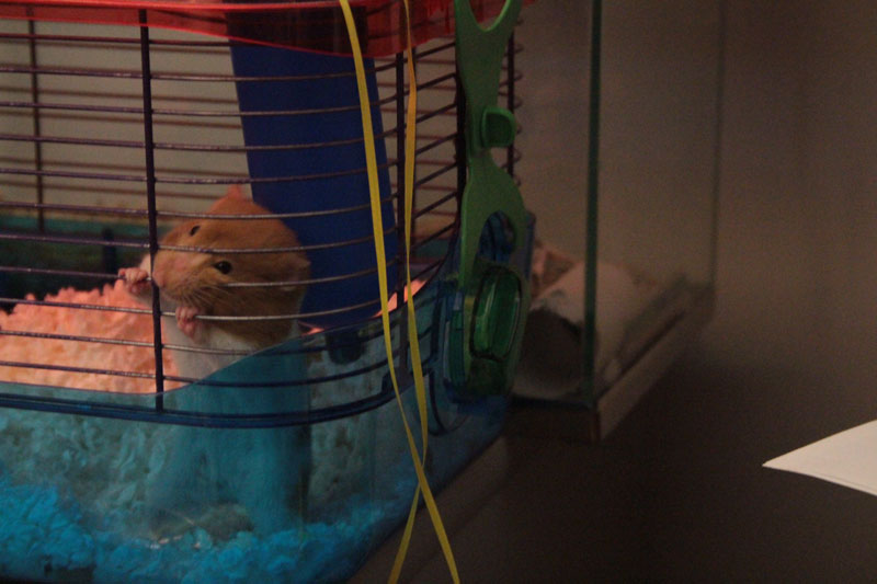twitch-chewing-cage-hamster-adorable