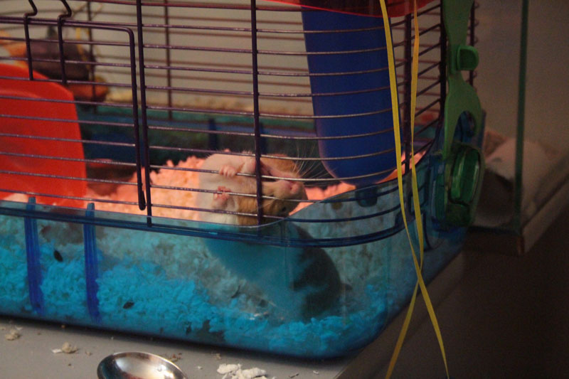 twitch-chewing-cage-hamster-adorable-bars