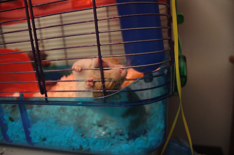 twitch-chewing-cage-hamster-adorable-bars-small-mammal