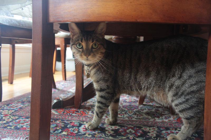 walker-under-table-cute-tabby