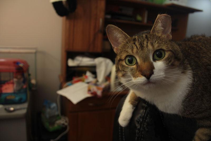 beau-big-eyes-cute-adorable-cat