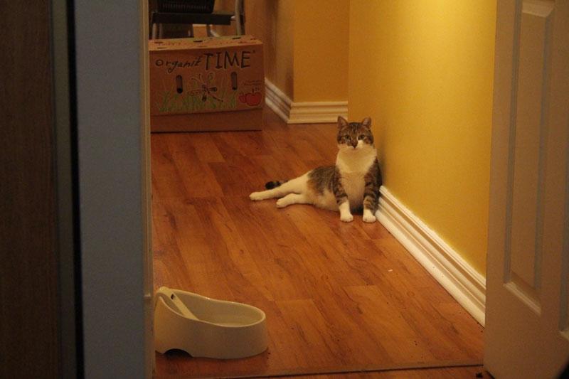 beau-sitting-upright-cute-adorable-cat