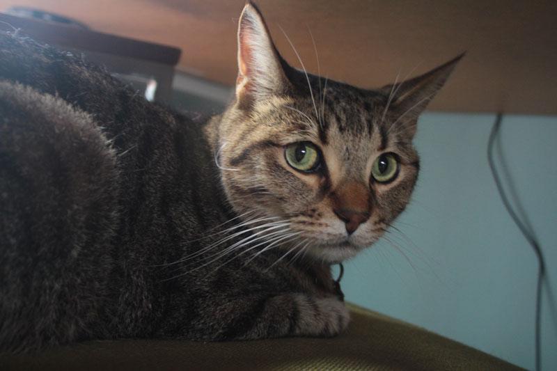 walker-under-table-desk-cute-cat