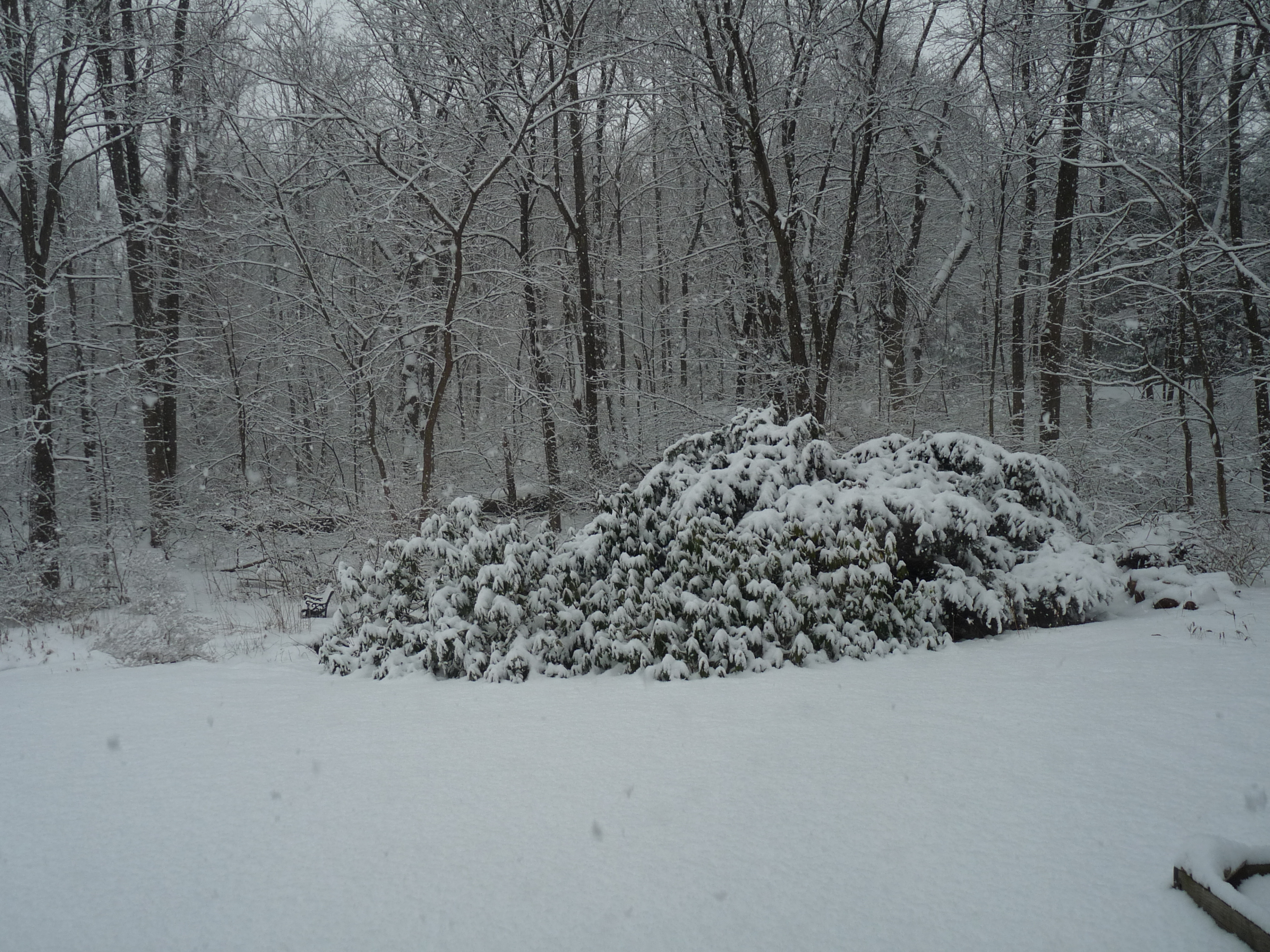 Rhododendron in snowstorm