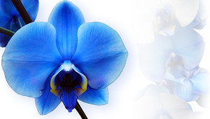 orchid-673702_640
