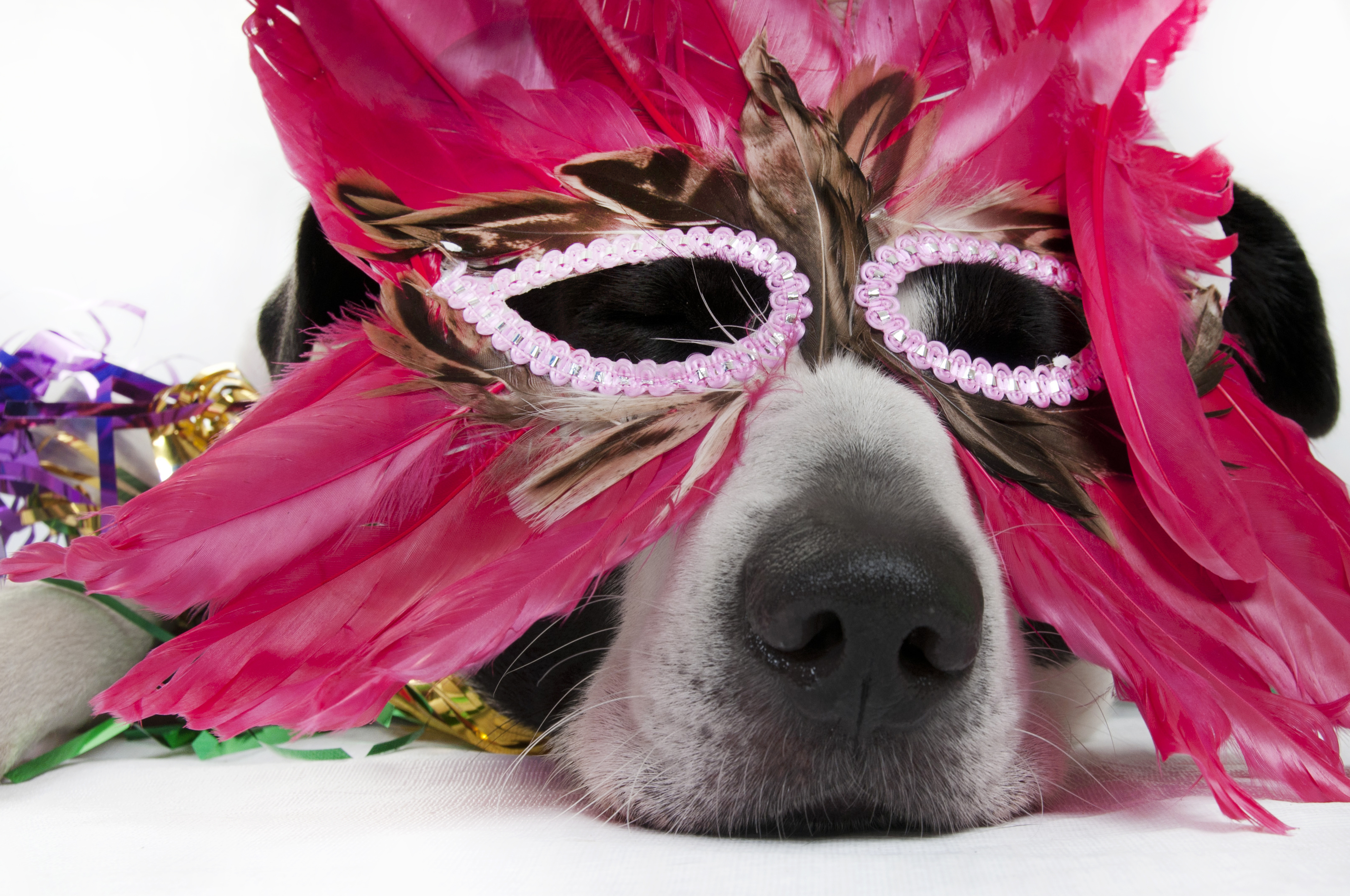 Dog in feather mask