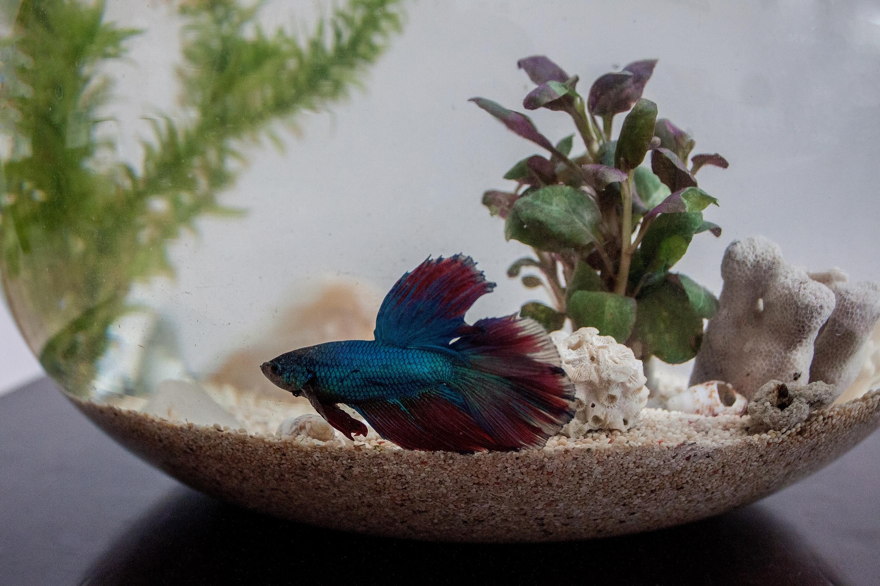 How to decorate betta fish bowls using plants animals for Betta fish habitat