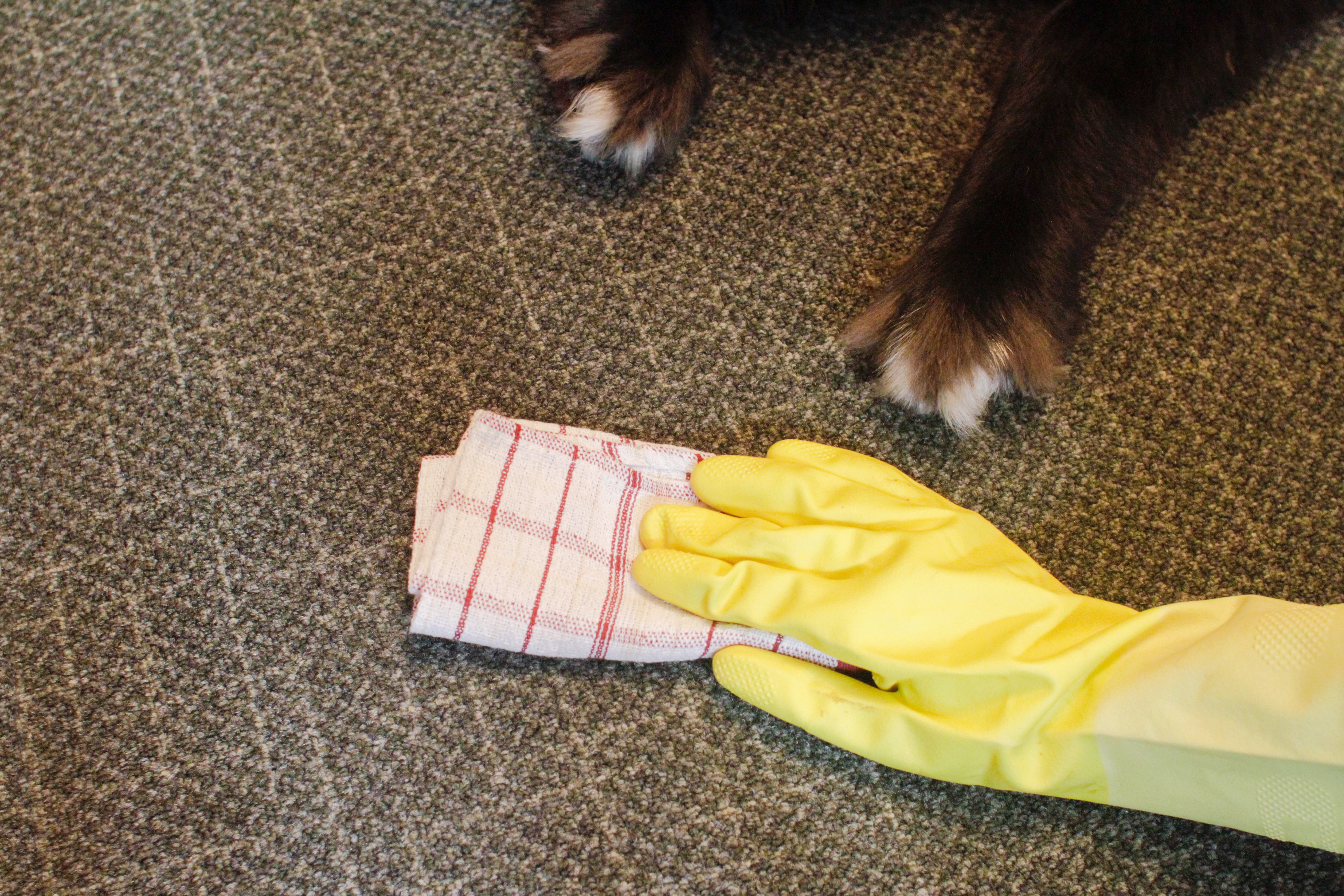 How To Clean Pet Urine From A Carpet Naturally Dog Care