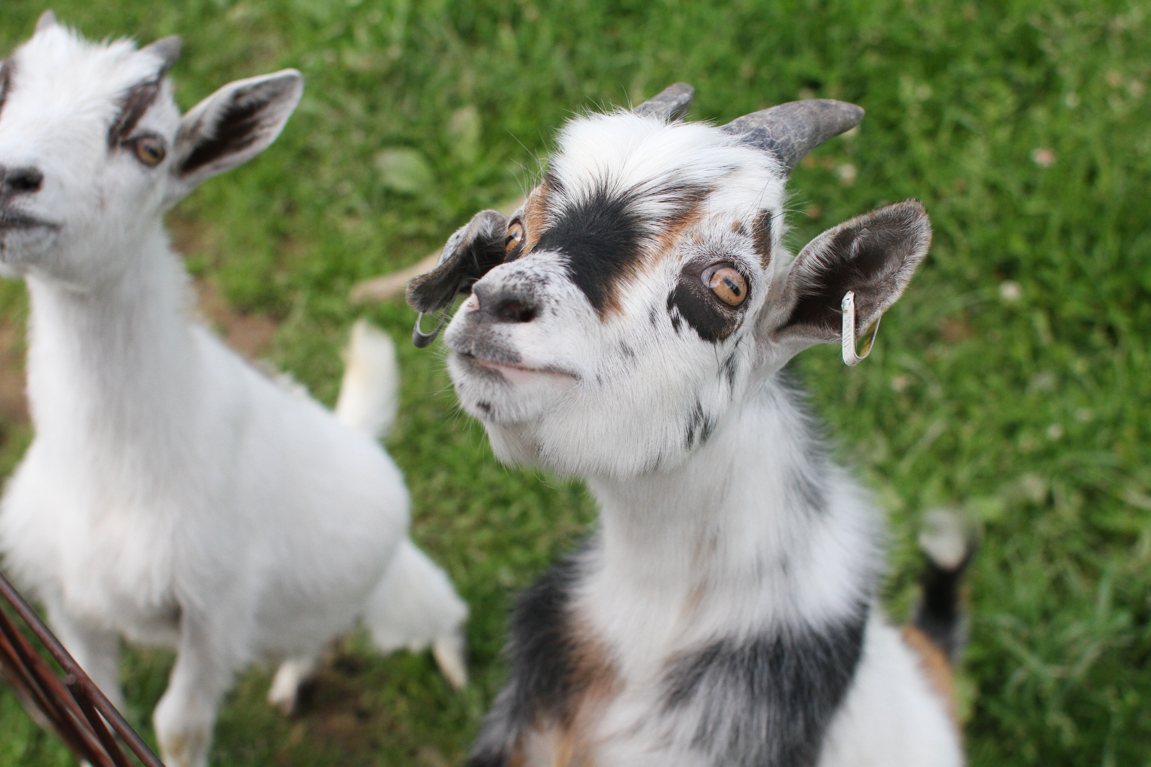 how to keep pygmy goats animals mom me