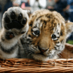 Baby-tiger-150x150_medium